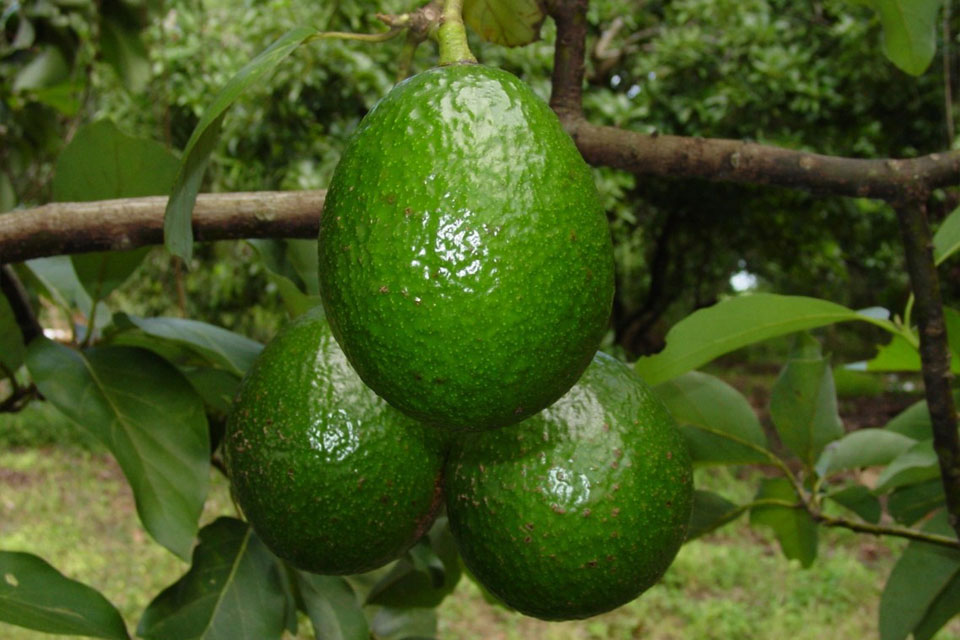a deep green avocados hanging in the tree