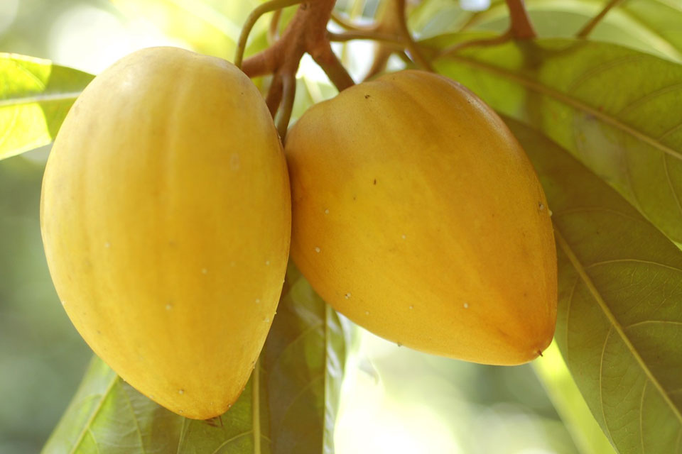 egg fruit, also known as canistel, hanging in a tree